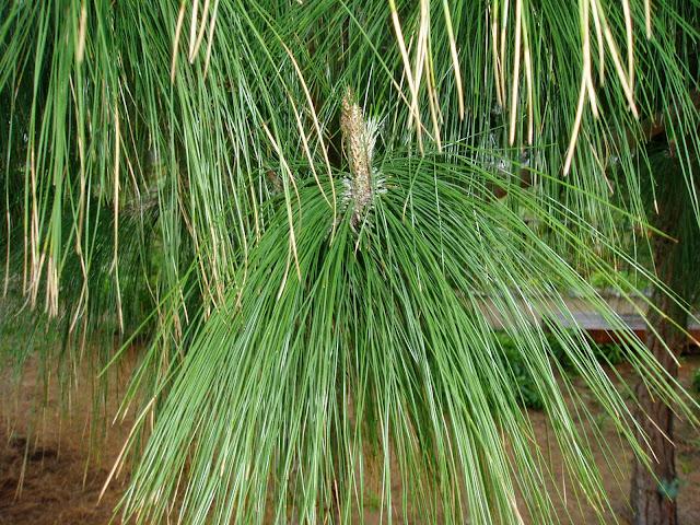 PINO CANARIO: Pinus canariensis
