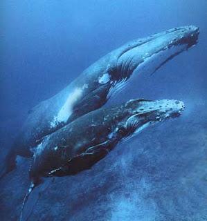 superinteressante Baleia jubarte