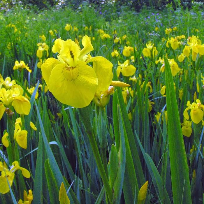 Peces y plantas ornamentales iris pseudacorus lirio de agua for Ver plantas ornamentales