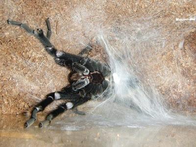 Brachypelma albopilosum Sperm Web