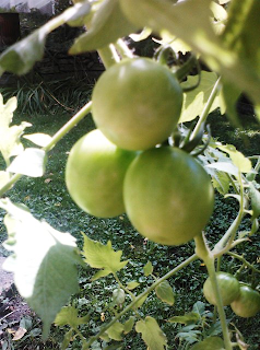 full size cherry tomatoes, not yet ripe
