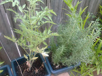 Thyme's Rosemary
