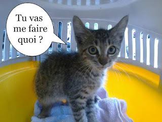 Petit chaton gris dans une cage de transport.