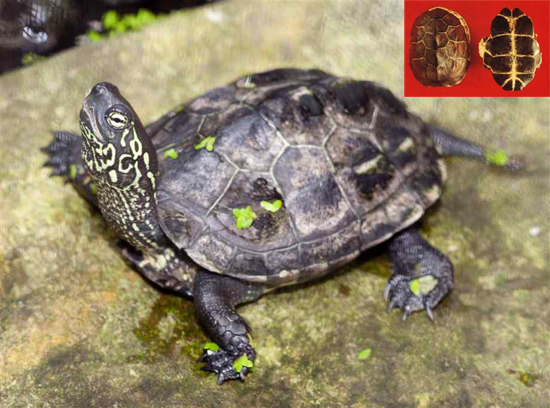 Chinemys reevesii (Gray) (Fam. Testudinidae)