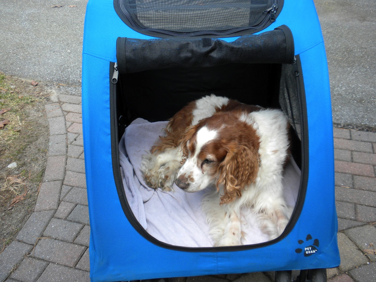 images How to Identify a Welsh Springer Spaniel