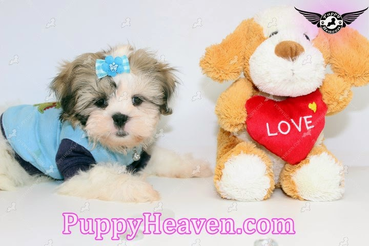 Puppies For Sale In Orange County Tiny Teacup Toy Puppies For