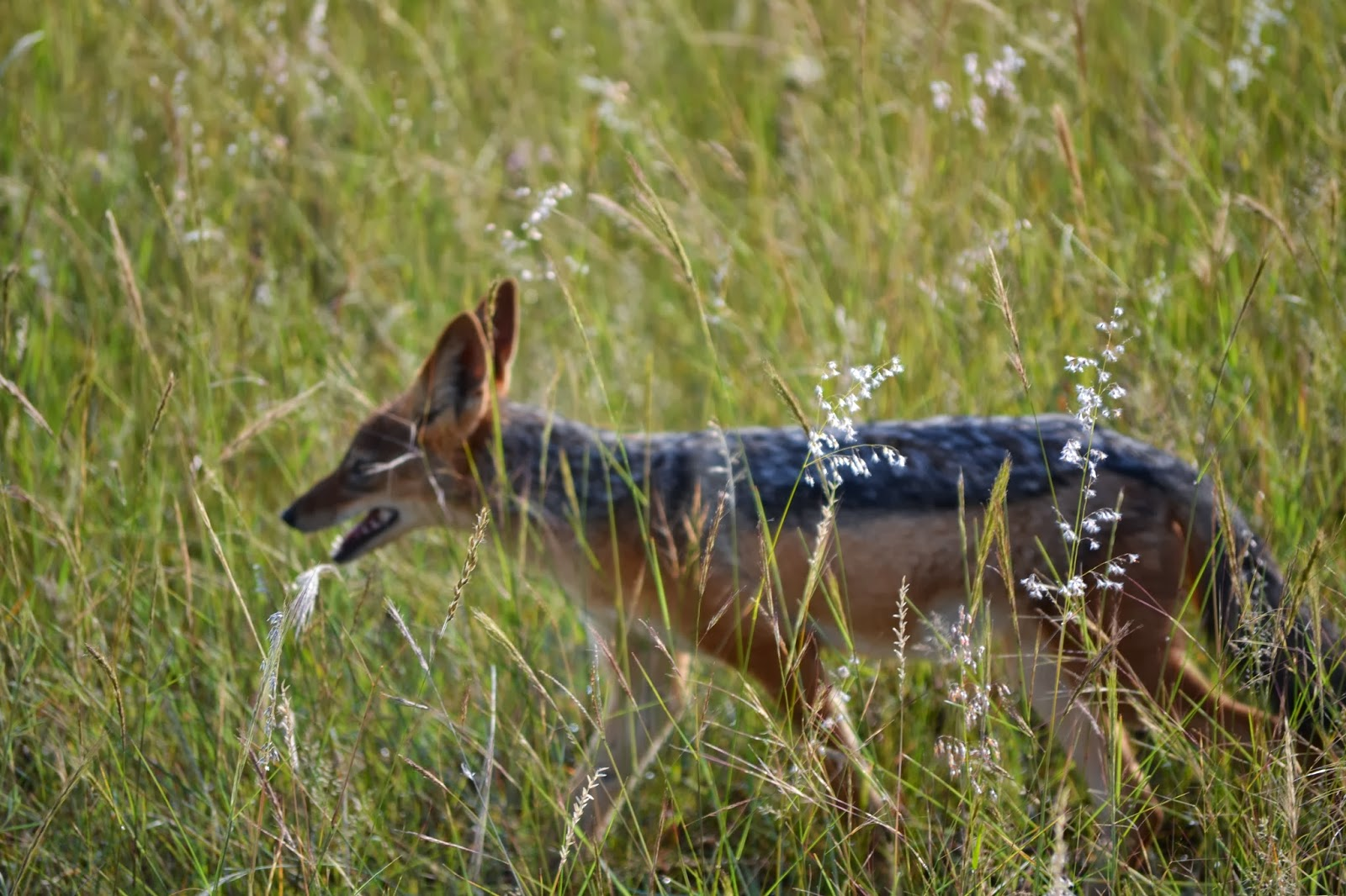 Jackal walking through the grass