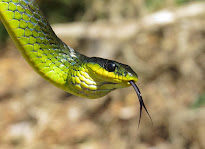 Common Tree Snake