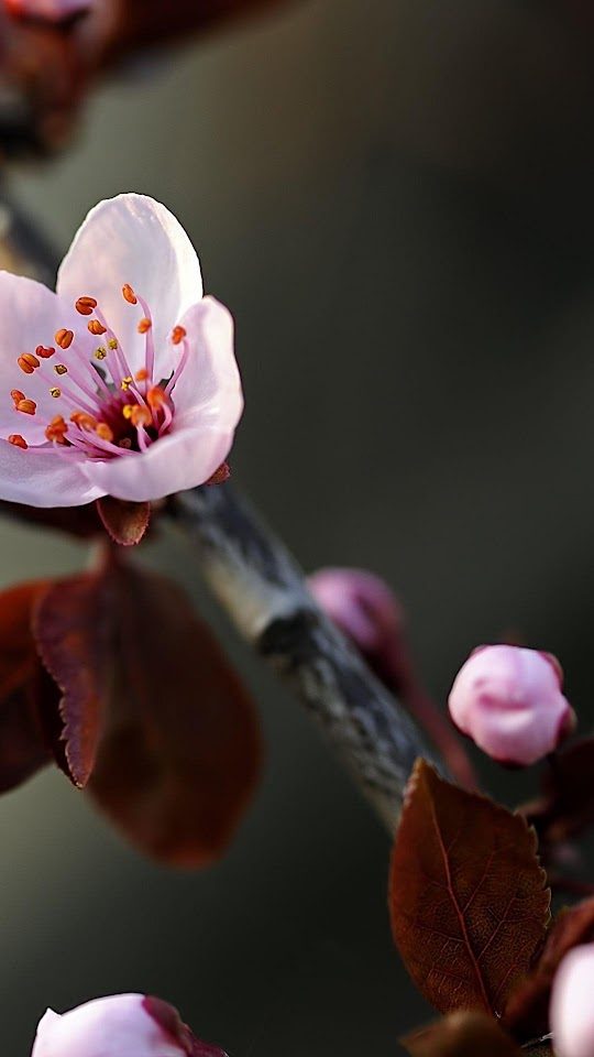 Macro Cherry Flower Bloom  Galaxy Note HD Wallpaper