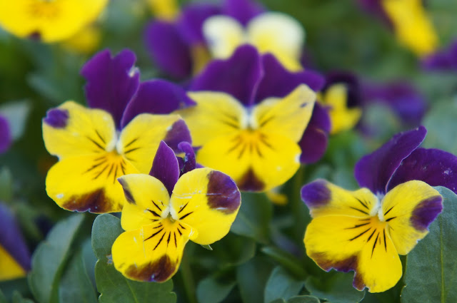 pictures of violet and yellow flowers