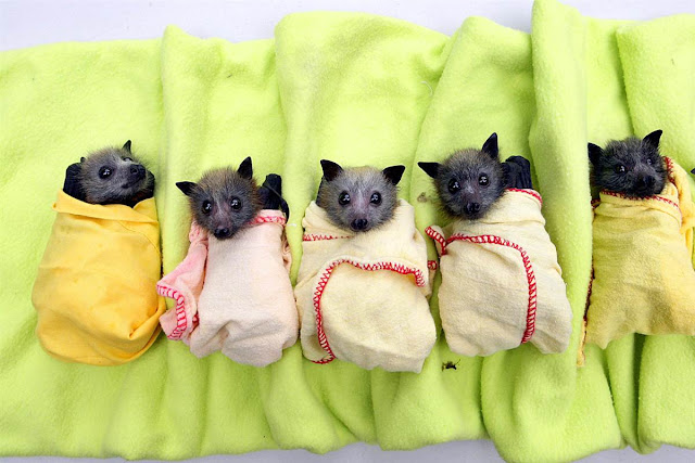 Bats tucked in tightly, cute bat pics