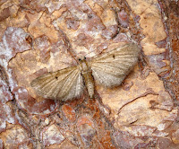 Latest New Macro Moth Species - Triple-spotted Pug