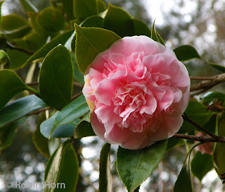 Large Pink Camillia Blossom
