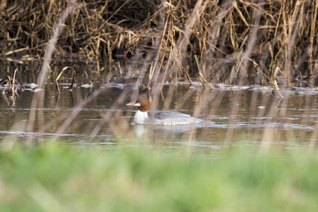 Female Goosander partially hidden by long grass
