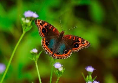 Mariposa en mi jardín sobre las flores silvestres de color lila