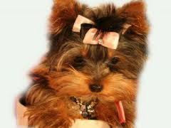 I Love Yorkshire Terrier Puppies How To Potty Train A Teacup Yorkie