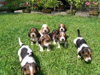 Basset Hound Puppies Picture
