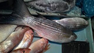 contoh ikan belanak