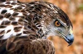 La mirada penetrante del águila perdicera...(o de Bonelli)