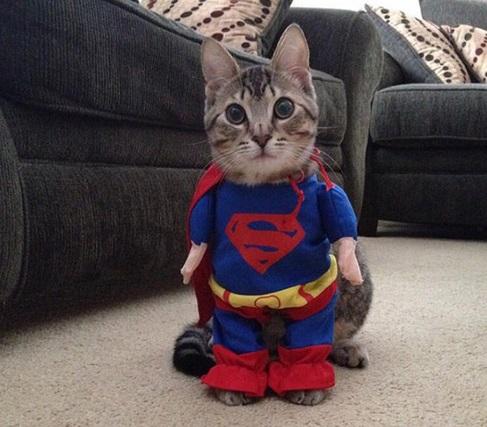 Gatos disfrazados de Superman graciosos