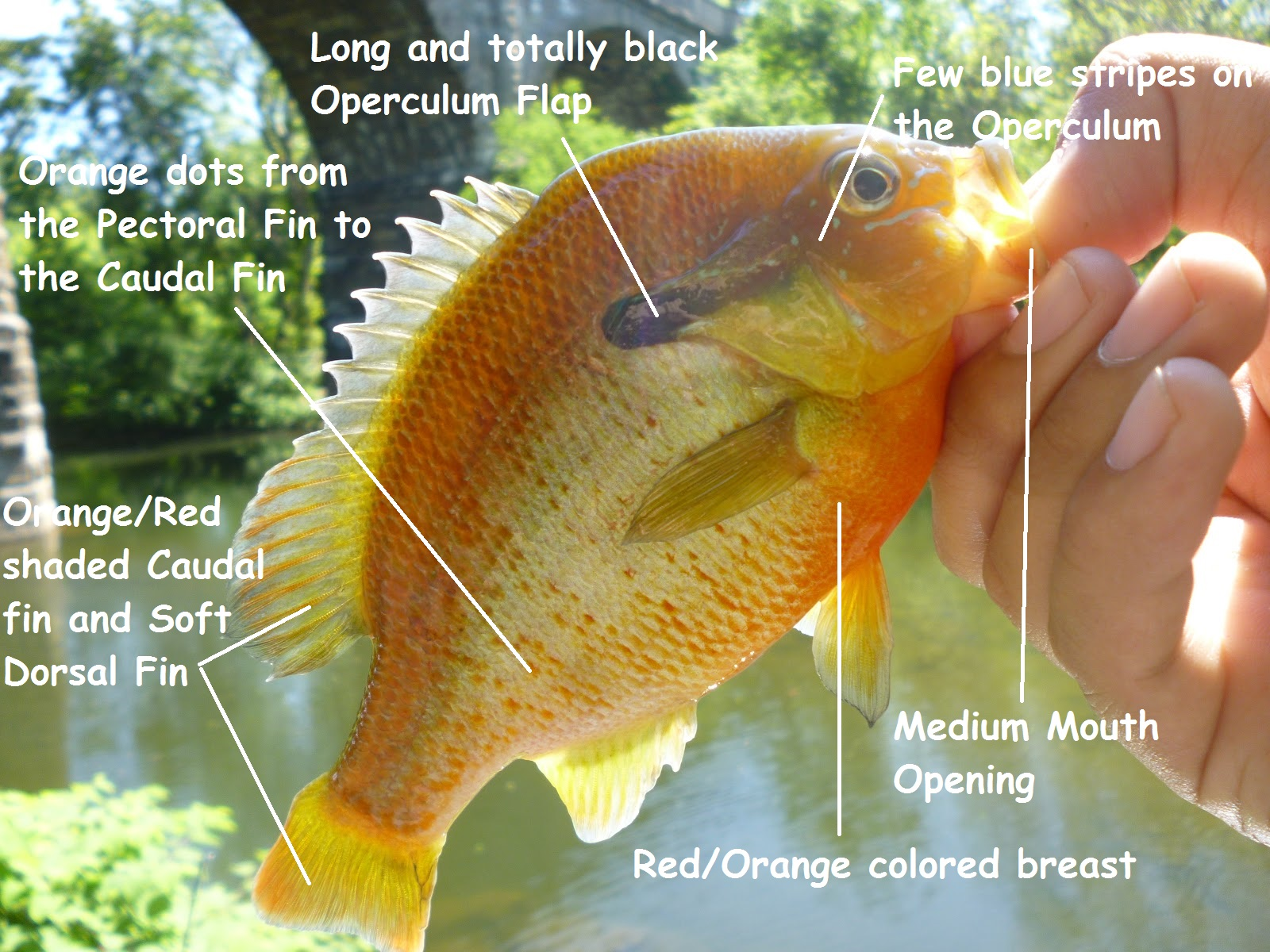 redbreast sunfish 1 wissahickon creek may 20th 2012