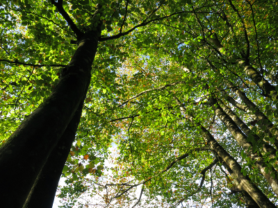 Arbres, forêt du Faouët.