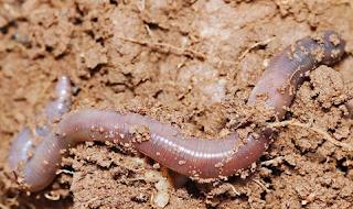 Cacing tanah Keluar dari tanah