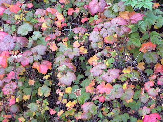 Highbush Cranberry leaves (Viburnum edule).