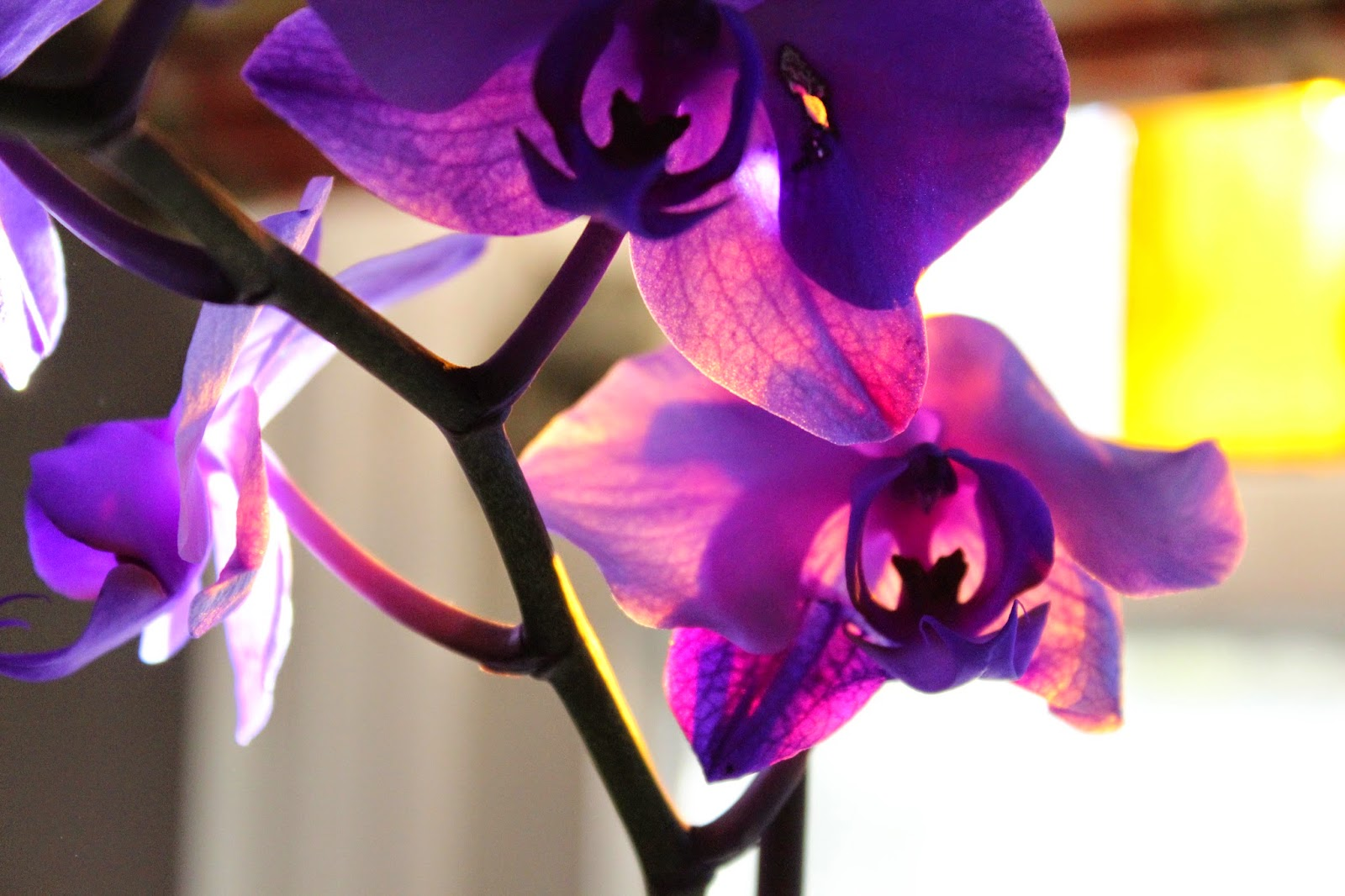 Sunlight through the Purple Orchid by Madder Hatter