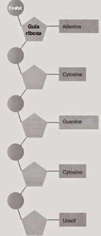 Penjelasan dna rna sintesis protein dan kode genetika materi sma struktur rna ccuart Image collections
