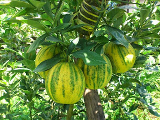 buah-jeruk-sunkist-variegata.jpg