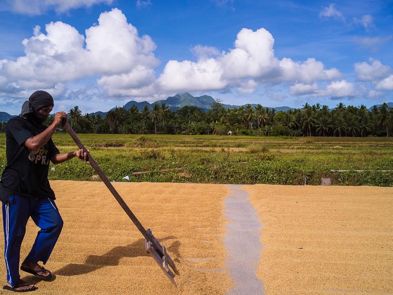 rice_crop