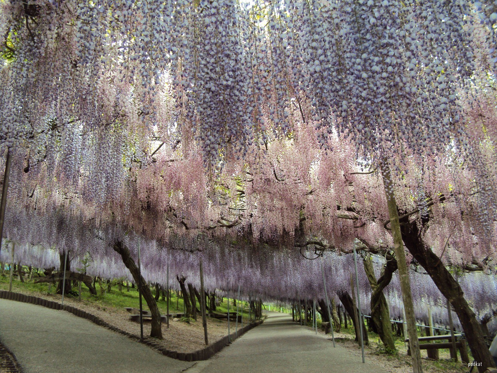 Wisteria Tunnel - Kawachi Fuji Gardens, in Kitakyushu, Japan: www.eclectitude.com/2012/04/wisteria-tunnel-kawachi-fuji-gardens.html