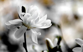 White Flowers HD Wallpaper