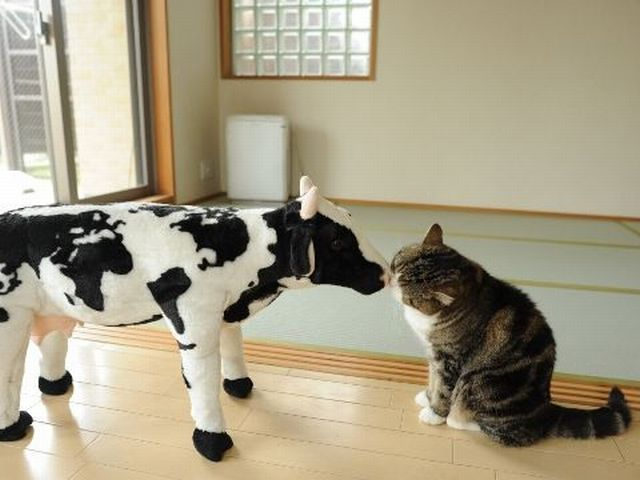 cat kisses stuffed cow, funny cat pictures, funny cats