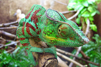 Macro Chameleon Picture and Photo 19