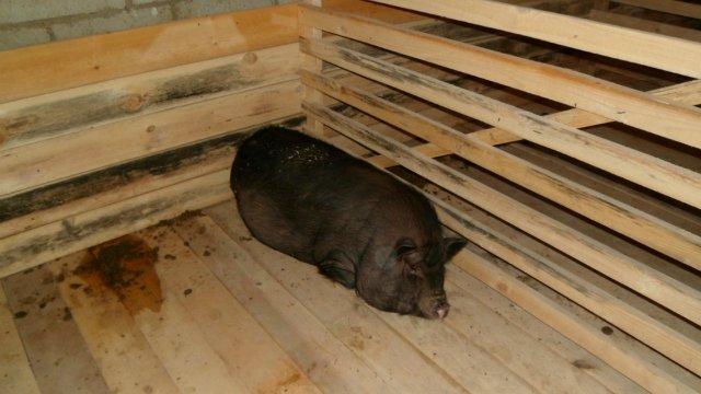Свинарник для вьетнамских свиней своими руками