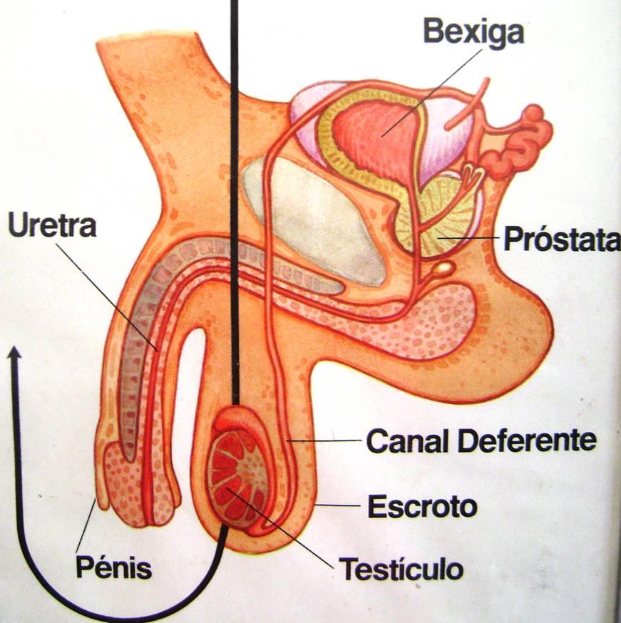 Único Masculinos Anatomía Fotos Componente - Anatomía de Las ...