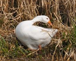nesting Embden goose