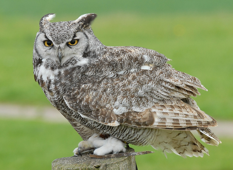 great horned owl eating prey pictures to pin on pinterest