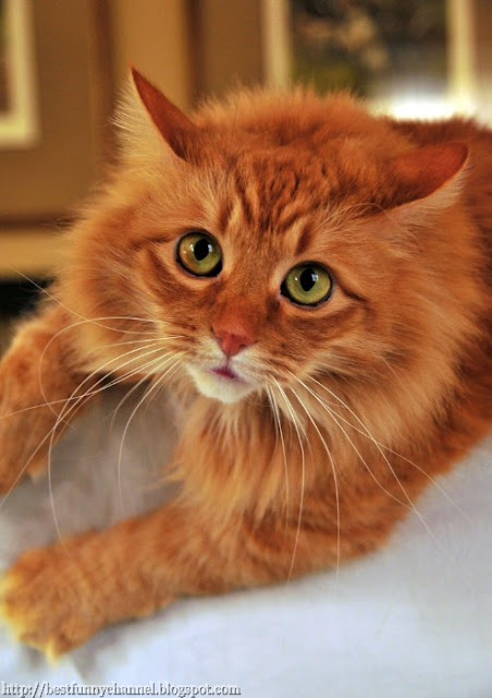 Very beautifully red cat