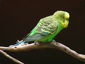 #10 Budgerigar Wallpaper