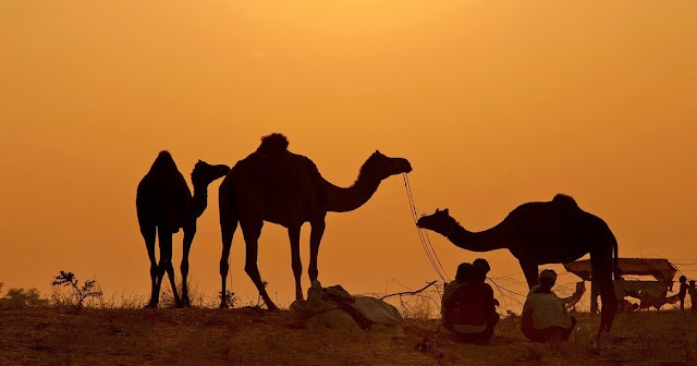 Camels at Jaisalmer