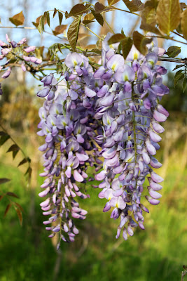 Close-up of a Wisteria bloom
