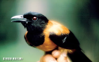 a98564 HoodedP Gambar Haiwan Paling Cantik Tapi Paling Bahaya Di Dunia