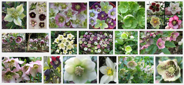 Hellebore photos from Google images
