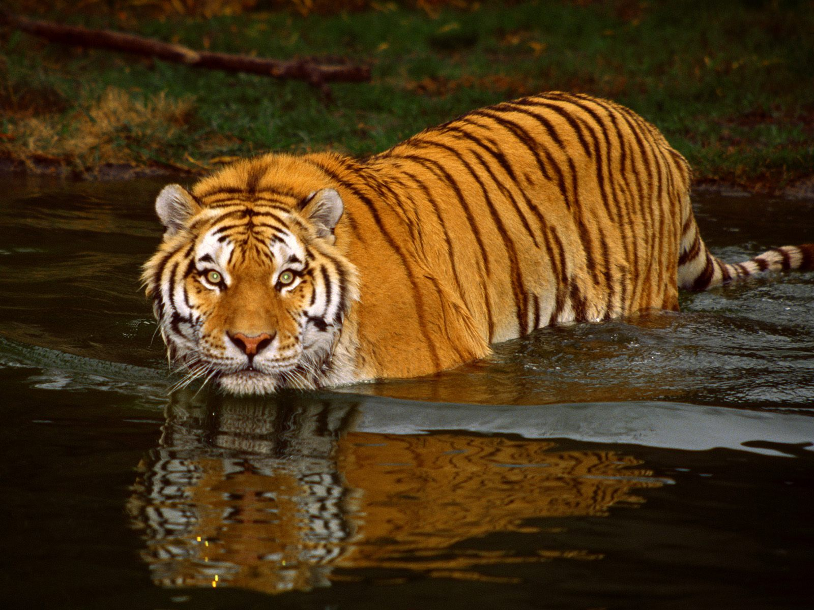 http://4.bp.blogspot.com/-VnVZITDvmfY/T2BG7UHly7I/AAAAAAAACqU/xDshGEAoLm8/s1600/Tiger+Full+HD+Wallpapers+2.jpg