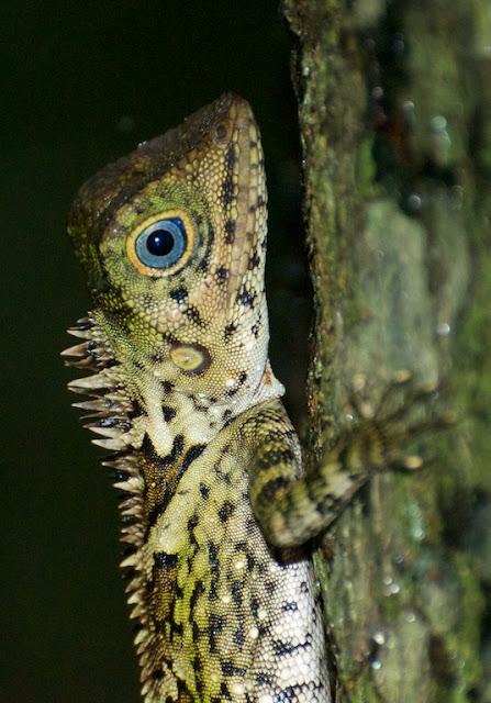 Blue-eyed Angle-headed Lizard (Gonocephalus liogaster)