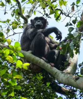 chimpansee - Oeganda - gorillageluk De tropische wouden van Centraal-Afrika vormen idealiter gesproken een uitermate geschikte habitat voor het gorillageluk van de berggorilla's van Oeganda.