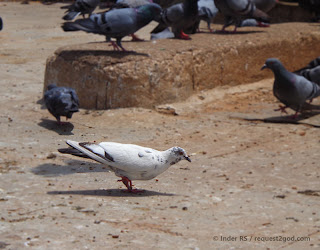 white-grey colored feral pigeon